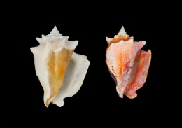 Humans drove evolution in conch