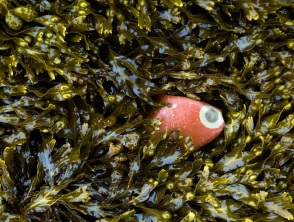 red-eye-stone-in-fucus-joggins-june-2005-110cm