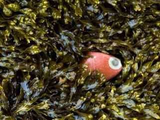 red-eye-stone-in-fucus-joggins-june-2005-110cm